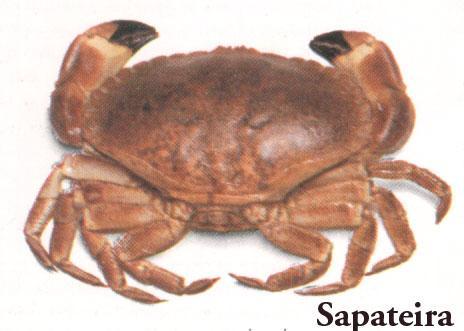 Santola // Common Spider Crab (Maja Brachydactyla) Photo in 2016 ...