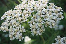 Achillea_millefolium_corimbo