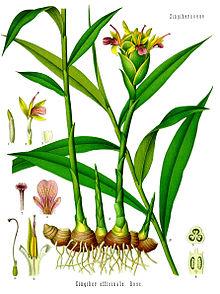 Gengibre-Zingiber_officinale_-_Köhler–s_Medizinal-Pflanzen-146