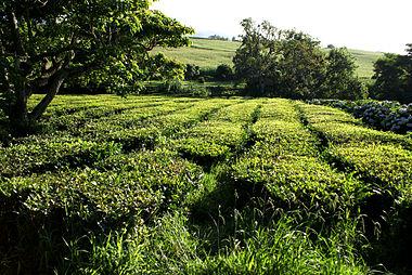 Plantação_de_Chá_Gorreana,_Camellia_sinensis,_Ribeira_Grande,_ilha_de_São_Miguel,_Açores